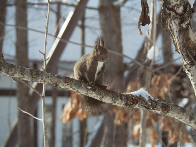 雪のち晴れ・・木の枝で毛づくろいのエゾリス君_f0276498_14343674.jpg