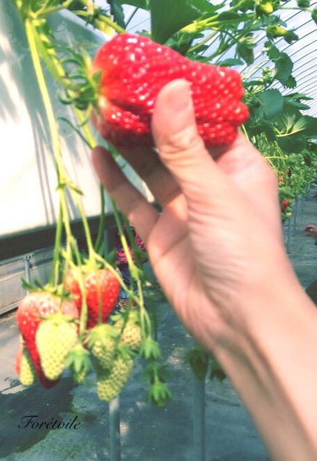 la cueillette des fraises_f0377243_09093409.jpg