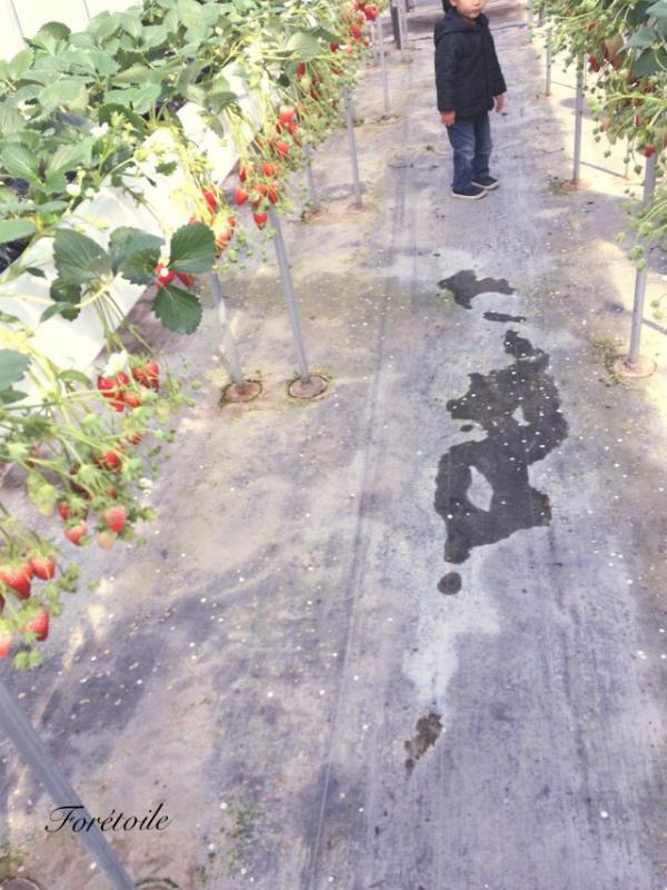 la cueillette des fraises_f0377243_09114841.jpg
