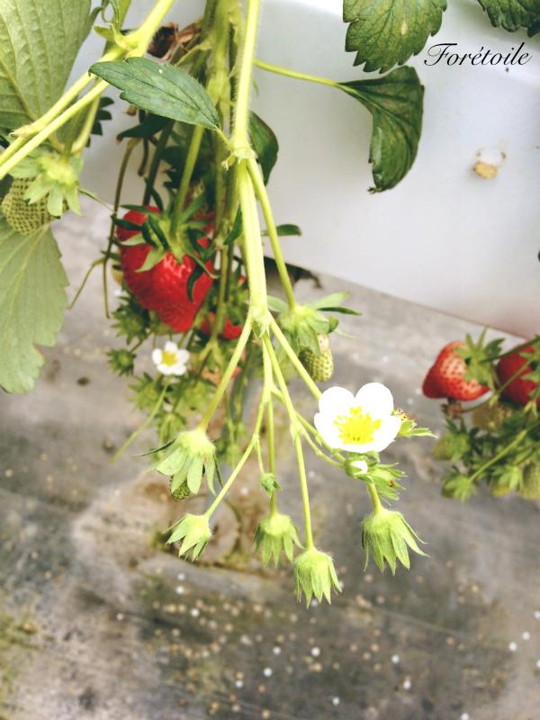 la cueillette des fraises_f0377243_09134175.jpg