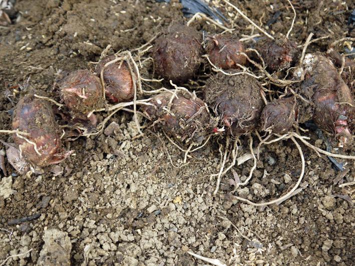 ソラマメ開花、春大根発芽、サトイモ第一陣植え付け3・7_c0014967_8305973.jpg