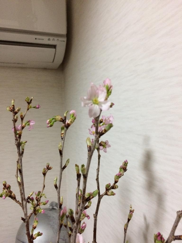 昨日からうちの和室に桜の枝が鎮座!自宅花見と洒落込もう_d0061678_12564681.jpg