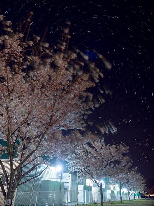 石巻の桜_a0003650_23104872.jpg