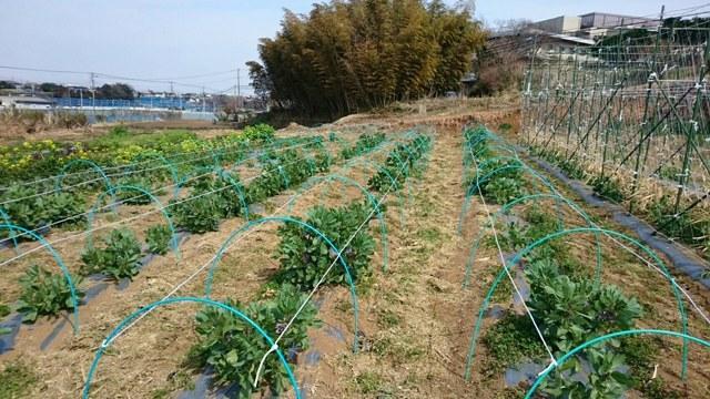 蚕豆の畝に倒れ防止のロープを張っていきます_c0222448_12295575.jpg