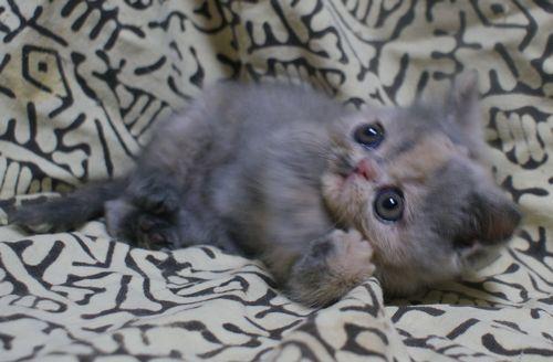 エキゾ赤ちゃん リプコ'子 写真_e0033609_18303536.jpg