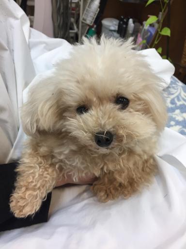 マスコット犬  ポロル_c0223630_08560241.jpg