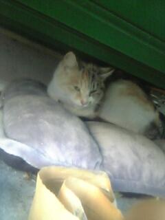 かわいい三毛猫預かりさん募集!_d0355333_11271706.jpg