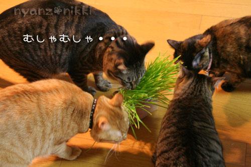 猫草が育ちましたよ_d0355333_14571833.jpg