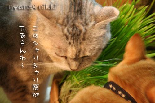 猫草が育ちましたよ_d0355333_14571971.jpg