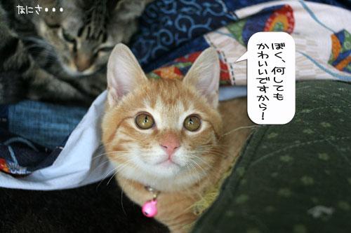 活発子猫とおっとりスコ猫_d0355333_16371616.jpg