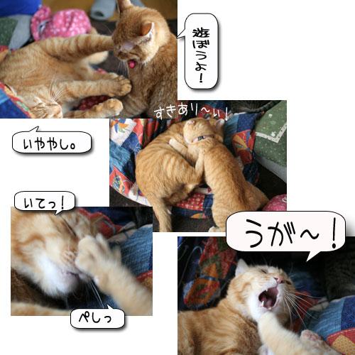活発子猫とおっとりスコ猫_d0355333_16371638.jpg