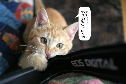 活発子猫とおっとりスコ猫_d0355333_16371717.jpg