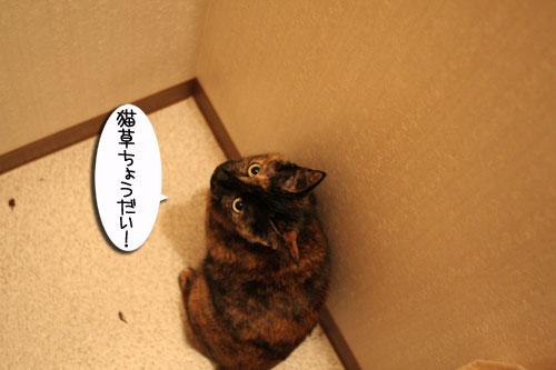 猫草フィーバー!_d0355333_16432908.jpg