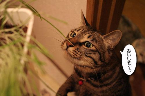 猫草フィーバー!_d0355333_16433045.jpg