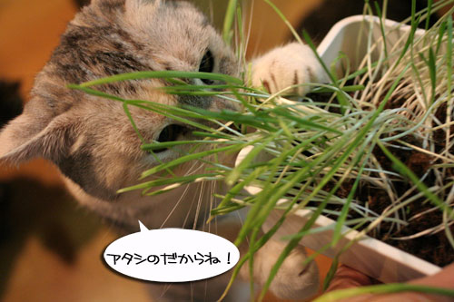 猫草フィーバー!_d0355333_16433240.jpg