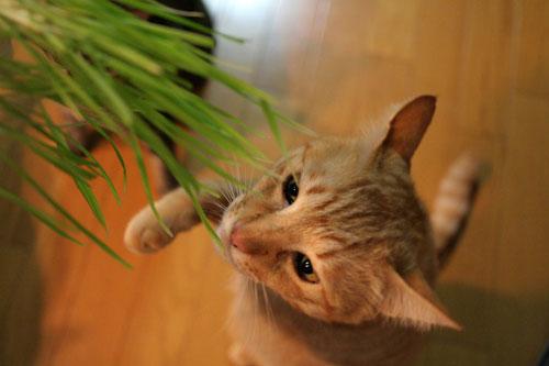 猫草フィーバー!_d0355333_16433377.jpg