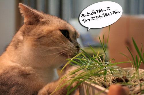 猫草フィーバー!_d0355333_16433445.jpg