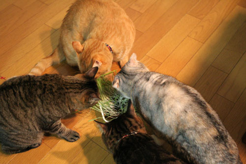 猫草フィーバー!_d0355333_16433544.jpg