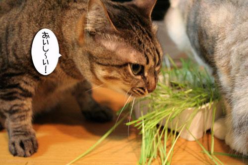 猫草で大惨事(汗_d0355333_16433920.jpg
