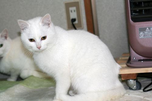 白猫スキーなアナタへ♪_d0355333_16440679.jpg