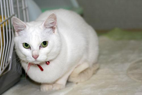 白猫スキーなアナタへ♪_d0355333_16440683.jpg