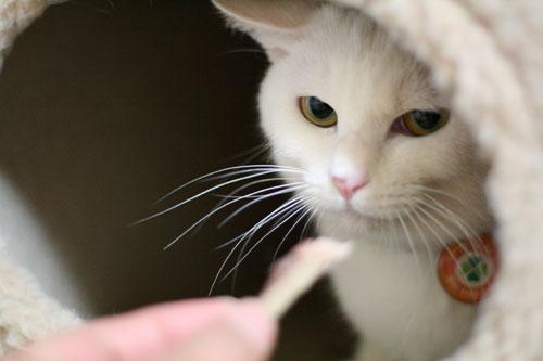 白猫スキーなアナタへ♪_d0355333_16440743.jpg