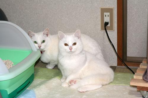 白猫スキーなアナタへ♪_d0355333_16440759.jpg