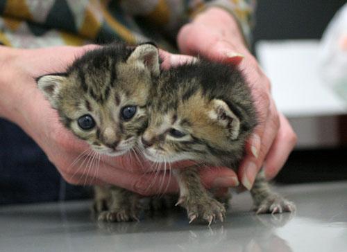 赤ちゃん猫★ご帰宅_d0355333_16495073.jpg