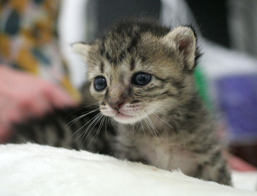 赤ちゃん猫★ご帰宅_d0355333_16495178.jpg