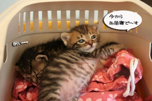 赤ちゃん猫★食う寝る遊ぶ_d0355333_16500995.jpg