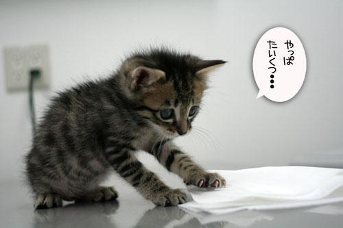 赤ちゃん猫動画2本立て★病院なんか怖くない?_d0355333_16510416.jpg