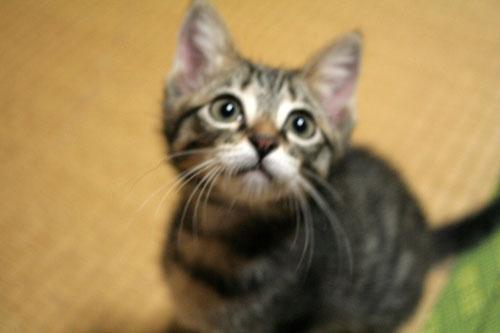 子猫の成長は早い_d0355333_16523329.jpg