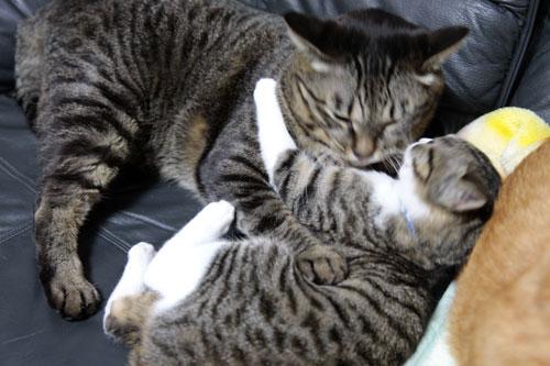 永遠の子猫とらちゃん_d0355333_17040841.jpg
