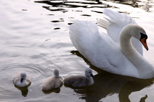 白鳥の湖の罠_d0355333_19032010.jpg