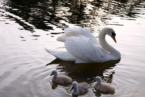 白鳥の湖の罠_d0355333_19032030.jpg