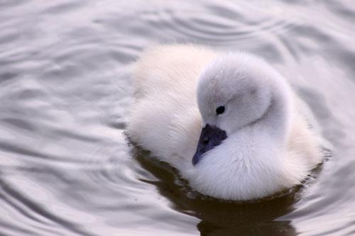 白鳥の湖の罠_d0355333_19032102.jpg