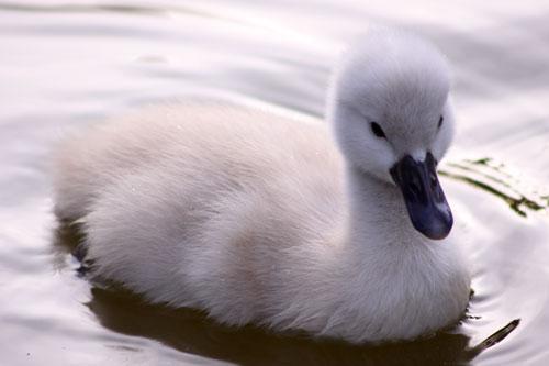 白鳥の湖の罠_d0355333_19032115.jpg