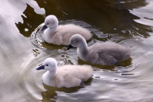 白鳥の湖の罠_d0355333_19032163.jpg