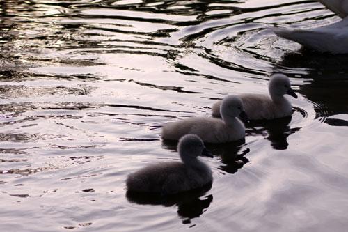白鳥の湖の罠_d0355333_19032280.jpg