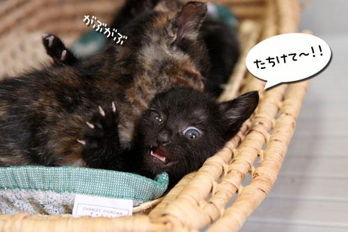 猫をかぶる、仔猫。_d0355333_19092099.jpg