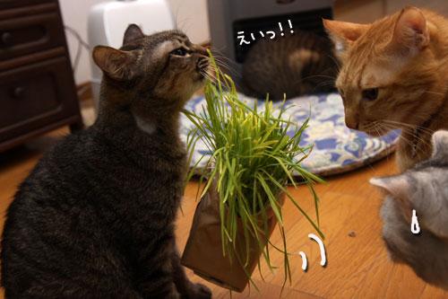 猫草、みんなの反応は_d0355333_19120660.jpg