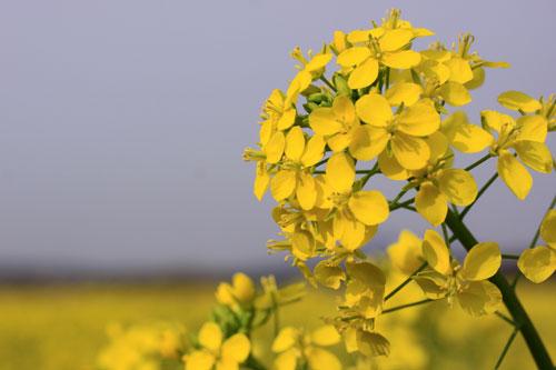 菜の花畑が素敵なので_d0355333_19285031.jpg