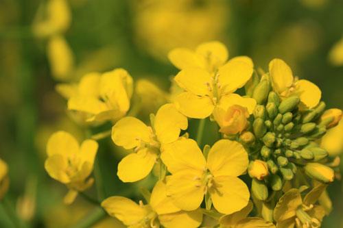 菜の花畑が素敵なので_d0355333_19285078.jpg
