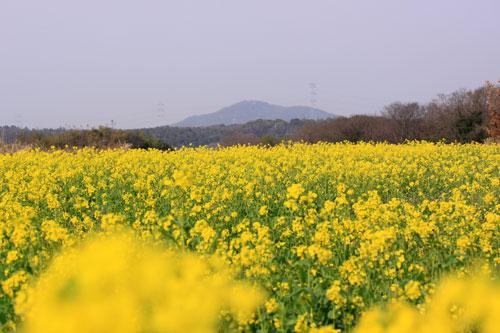 菜の花畑が素敵なので_d0355333_19285193.jpg