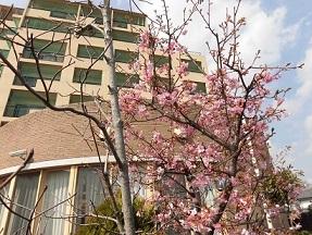 緑陽館の桜の木_e0163042_16223199.jpg