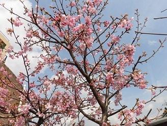 緑陽館の桜の木_e0163042_16242928.jpg