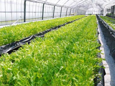 農薬や消毒を一切せずに育ったサラダ用の水耕栽培の生野菜を大好評販売中!_a0254656_17122155.jpg