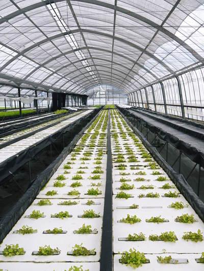 農薬や消毒を一切せずに育ったサラダ用の水耕栽培の生野菜を大好評販売中!_a0254656_17275075.jpg