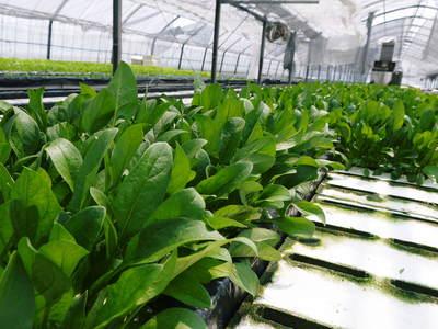 農薬や消毒を一切せずに育ったサラダ用の水耕栽培の生野菜を大好評販売中!_a0254656_1731515.jpg
