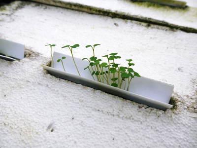 農薬や消毒を一切せずに育ったサラダ用の水耕栽培の生野菜を大好評販売中!_a0254656_17332376.jpg
